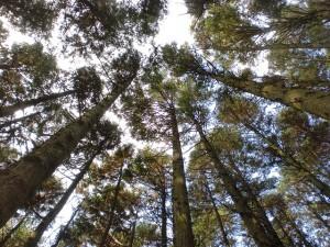 杉、樫、檜