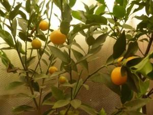 椎色の柑橘類