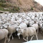羊を数えると眠くなるというのはウソ!